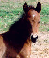 Chocolate Invitation: Bay Filly. Pictured February 18, 2004.