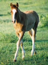Name Pending: Chestnut Colt. Pictured early May, 2004.