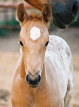 Name Pending: Palomino/Blanket Filly. Pictured early May, 2004.