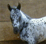 Name Pending: Black/Leopard Filly. Pictured soon after birth, February 2004.
