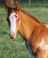 Comic Invitation: Chestnut/Blanket Gelding. Pictured early May, 2004.