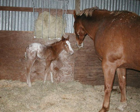 Invitational filly, pictured soon after birth, February 19, 2004