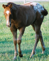 Spanish Invitation: Chestnut/Blanket Colt. Pictured early May, 2004.