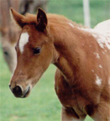 Tuff Charisma: Chestnut/Blanket Filly. Pictured March 26, 2004.