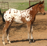 Invitational Filly, pictured mid-March 2005.
