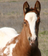 Invitational Filly born on Valentine's Day, pictured mid-March 2005.