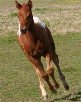 March 2005 Charicature Colt pictured mid-March 2005.