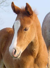 Invitational filly, born in England. Pictured March, 2005.