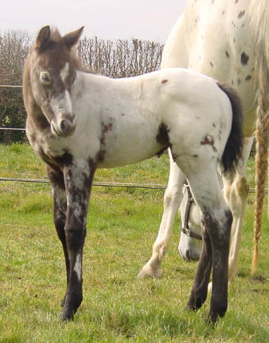Charicature Colt, born in England