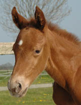 Invied April 2005 Chestnut/Snowflakes Filly.