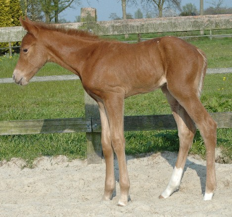 Invied Filly, born in The Netherlands, April 2005
