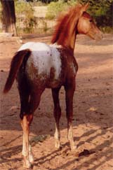 Charicature Gelding pictured August 2006.