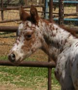 March 2006 Charicature Gelding pictured March 25, 2006.