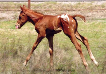 March 2006 Colt by Charicature, pictured March 27, 2006.