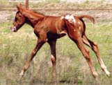 March 2006 Charicature Colt pictured March 25, 2006.