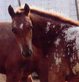 Charicature Filly pictured August 2006.