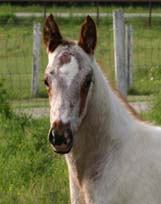 March 2007 Charicature Gelding pictured May 2007.