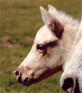 March 2007 Palomino Filly, Invitational x Mighty Goers Punky