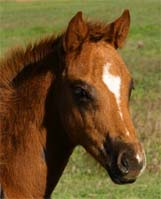 2008 The Top Secret (AQHA) Colt x Cartoon Series pictured April 2008.