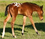 2008 Charicature Gelding pictured April 2008.