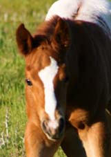 2008 Charicature Gelding x Designer Debutante pictured April 2008.