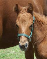 2008 Charicature Filly pictured April 2008.