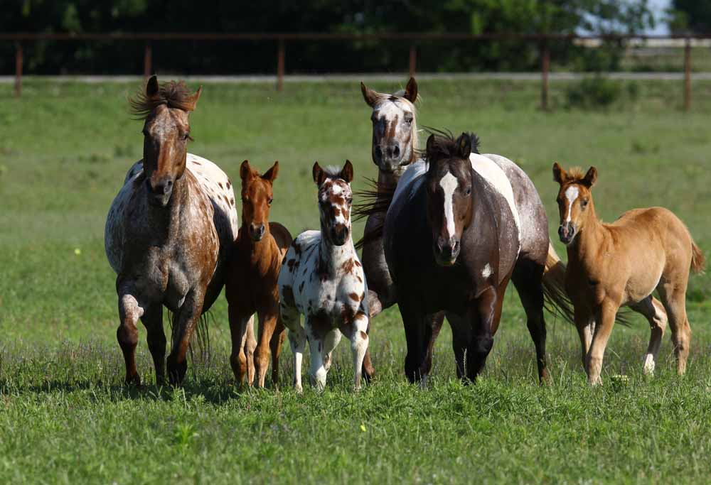 2011 Mares and Foals, Picture by Bob Langrish