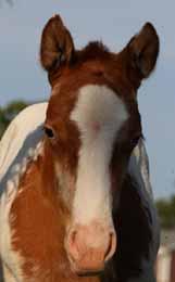 Top Step Farm ApHC Appaloosa Foals